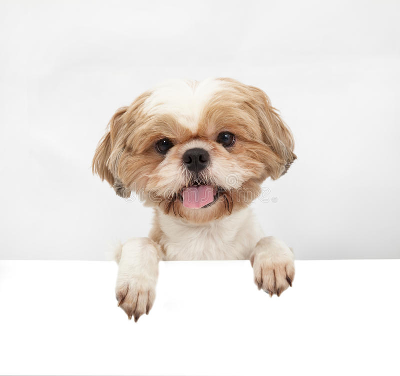 Download Adorable little dog stock photo. Image of advertisement - 25636404