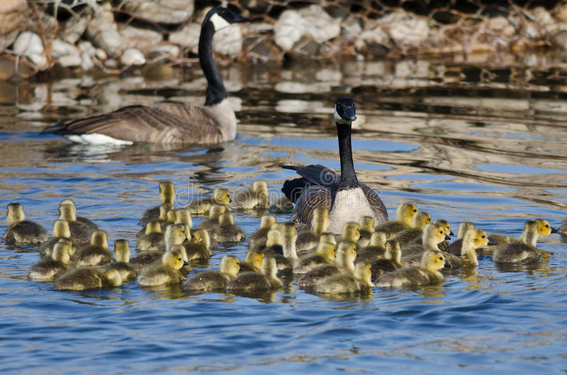 Adorable Little Goslings Swimming with Mom. Adorable Little Goslings Swimming along with Mom stock images