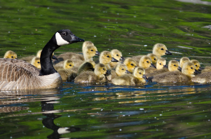 Adorable Little Goslings Swimming with Mom. Adorable Little Goslings Swimming Alongside of Mom stock photography