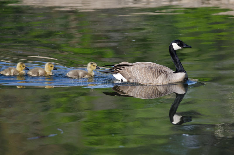 Adorable Little Goslings Swimming with Mom. Adorable Little Yellow Goslings Swimming with Mom stock photo