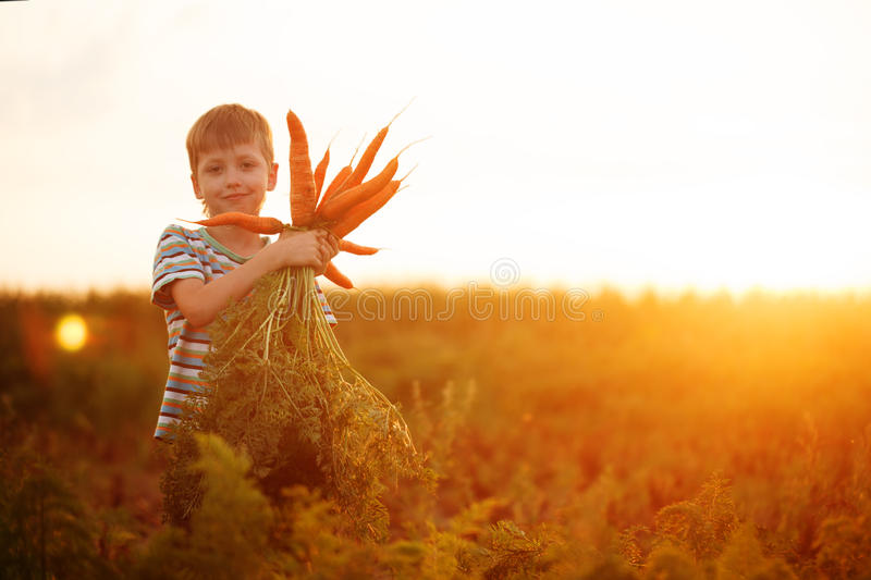 Adorable little kid boy picking carrots in domestic garden on the sunset stock image