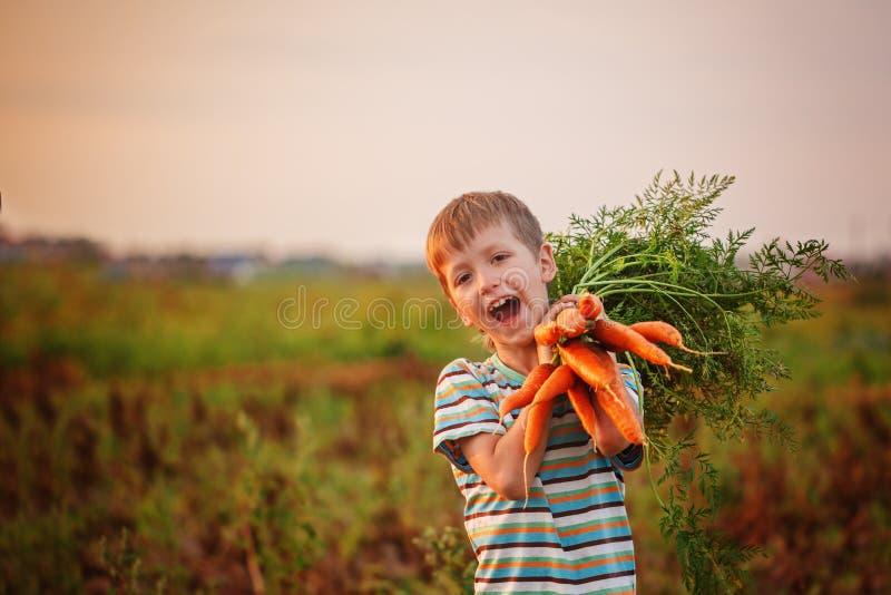 Adorable little kid boy picking carrots in domestic garden on the sunset. Cute little kid boy picking carrots in domestic garden on the sunset stock photo