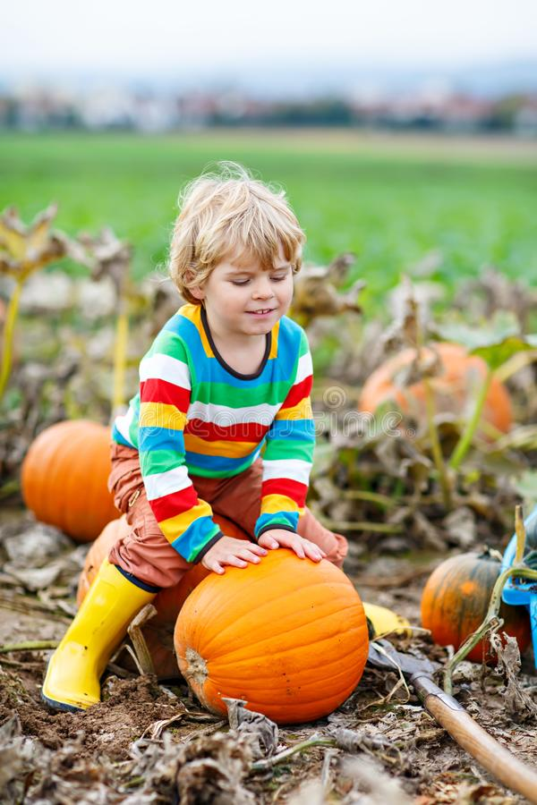 Adorable little kid boy picking pumpkins on Halloween pumpkin patch. Child playing in field of squash. Kid pick ripe royalty free stock photos