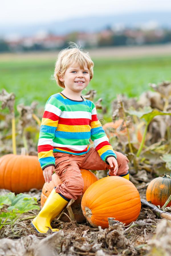 Adorable little kid boy picking pumpkins on Halloween pumpkin patch. Child playing in field of squash. Kid pick ripe. Vegetables on a farm in Thanksgiving royalty free stock image