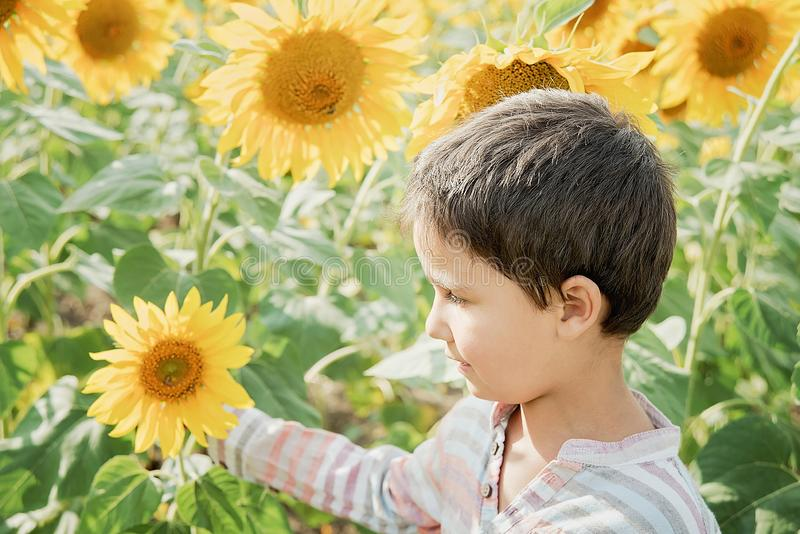 Adorable little kid boy on summer sunflower field outdoor. Happy child sniffing a sunflower flower on green field stock photo