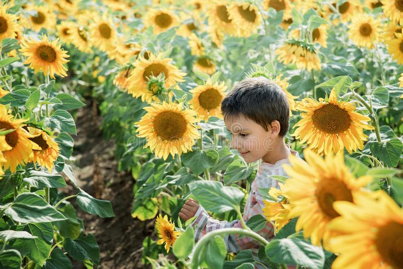 Adorable little kid boy on summer sunflower field outdoor. Happy child sniffing a sunflower flower on green field. Nature, yellow, beautiful, fun, cute, spring royalty free stock images
