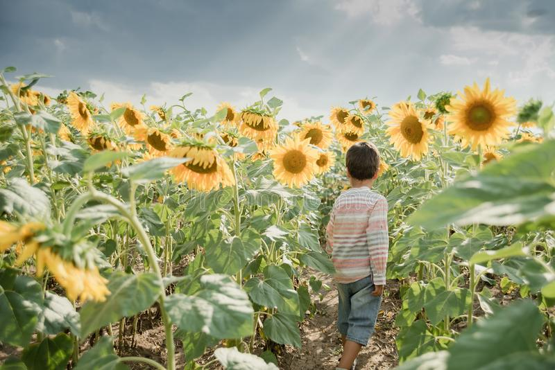 Adorable little kid boy on summer sunflower field outdoor. Happy child sniffing a sunflower flower on green field. Nature, yellow, beautiful, fun, cute, spring royalty free stock photo