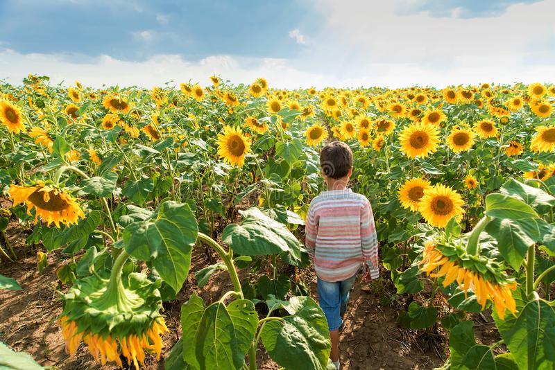 Adorable little kid boy on summer sunflower field outdoor. Happy child sniffing a sunflower flower on green field stock photo