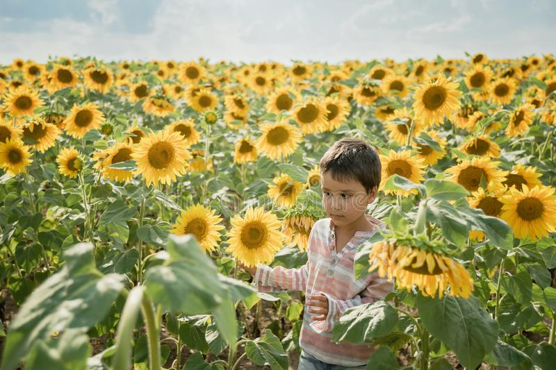 Adorable little kid boy on summer sunflower field outdoor. Happy child sniffing a sunflower flower on green field. Nature, yellow, beautiful, fun, cute, spring stock images