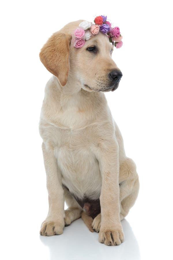 Adorable little labrador retriever puppy wearing flowers headband royalty free stock image