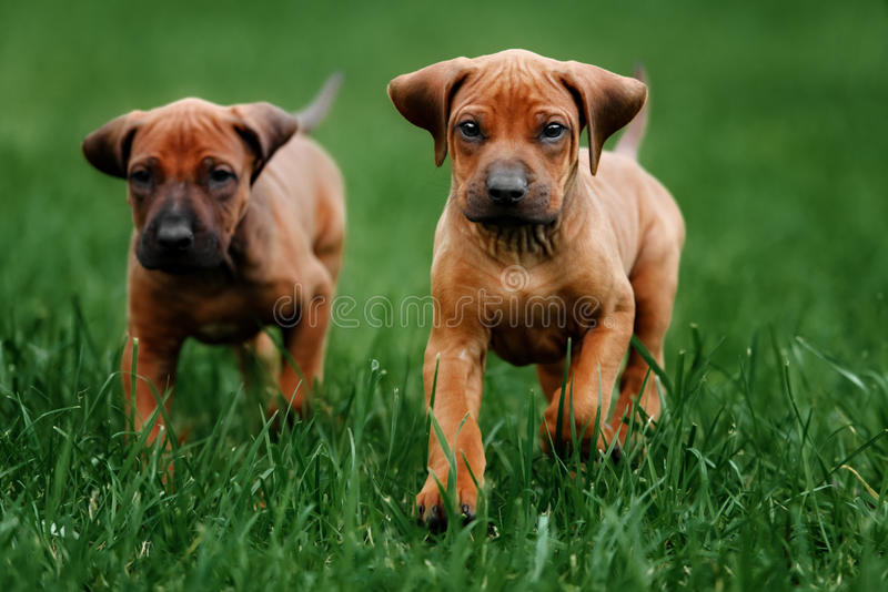 Adorable little Rhodesian Ridgeback puppies stock photography