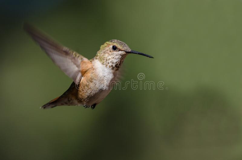 Adorable Little Rufous Hummingbird Hovering in Flight Deep in the Forest royalty free stock photo