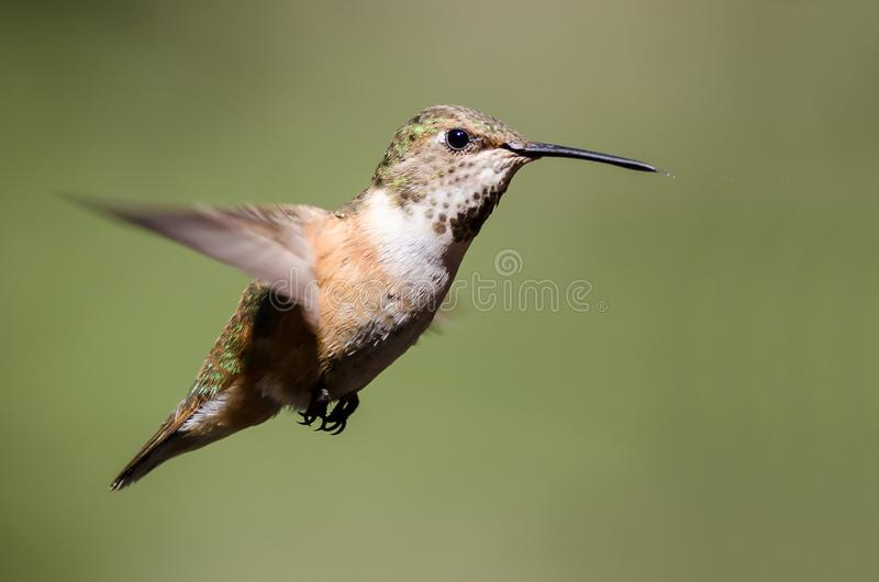 Adorable Little Rufous Hummingbird Hovering in Flight Deep in the Forest royalty free stock images