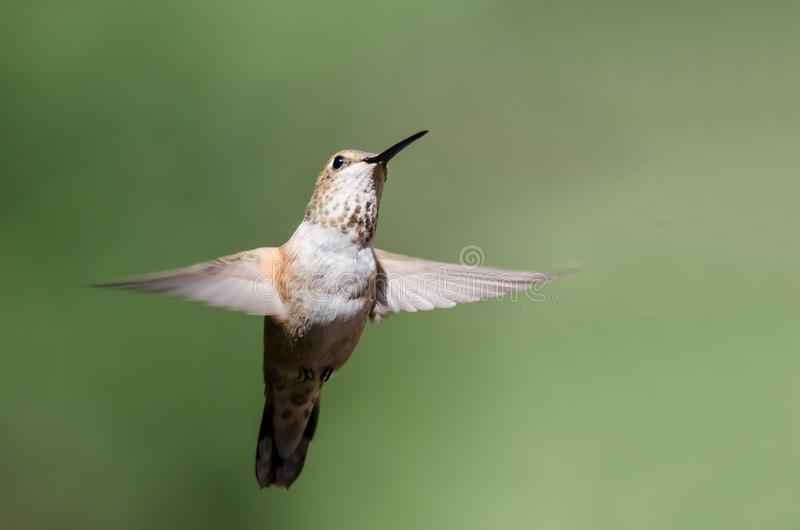Adorable Little Rufous Hummingbird Hovering in Flight Deep in the Forest stock photography