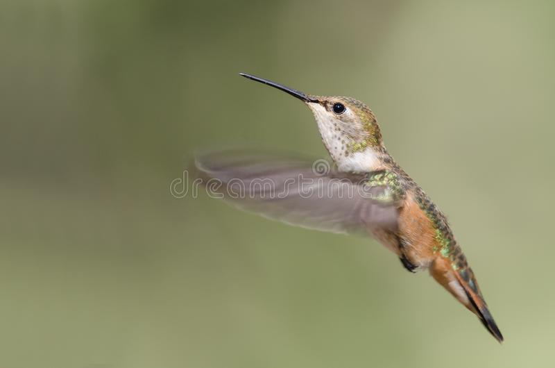 Adorable Little Rufous Hummingbird Hovering in Flight Deep in the Forest. Adorable Little Rufous Hummingbird Hovering in Flight Deep in the Green Forest stock photo