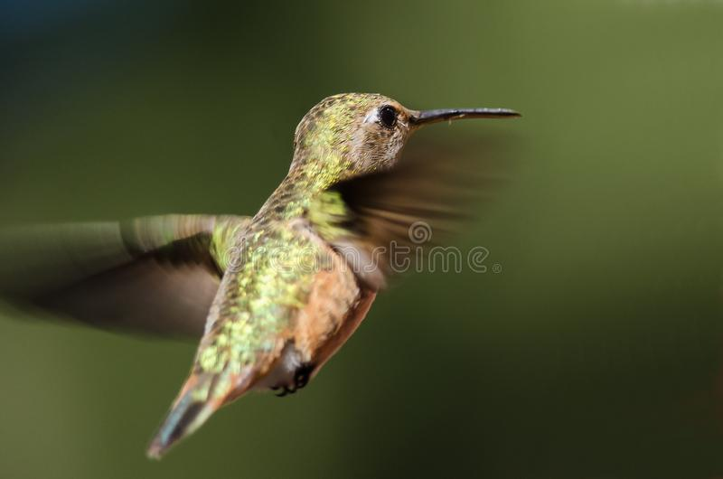 Adorable Little Rufous Hummingbird Hovering in Flight Deep in the Forest. Adorable Little Rufous Hummingbird Hovering in Flight Deep in the Green Forest royalty free stock image