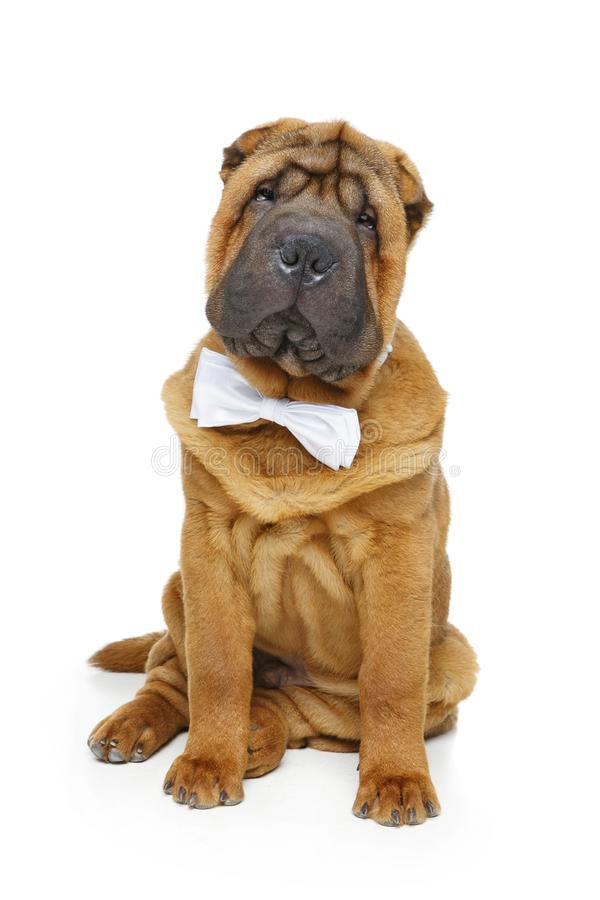 Beautiful Bow Tie Bow Adorable Dog - adorable-little-shar-pei-puppy-dog-white-bow-tie-studio-shot-black-background-copy-space-shar-pei-puppy-white-bow-tie-103698963  Graphic_469285  .jpg