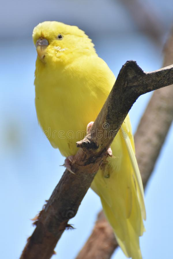 Adorable Little Yellow Budgie in the Wild royalty free stock photo
