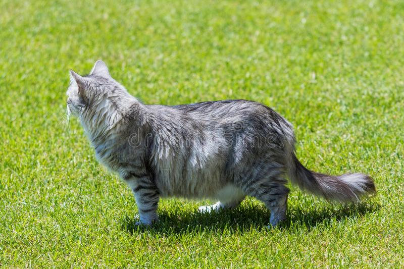 Adorable long haired cat of siberian breed in relax outdoor. Purebred feline of livestock. Cute domestic cat of livestock. Hypoallergenic siberian breed of stock photography