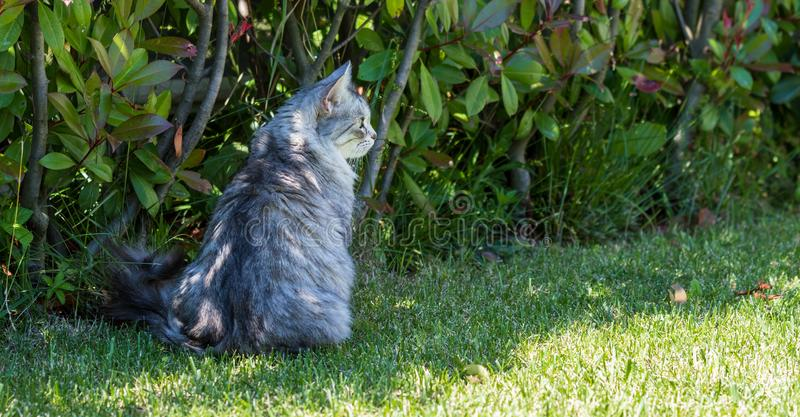 Adorable long haired cat of siberian breed in relax outdoor. Purebred feline of livestock. Cute domestic cat of livestock. Hypoallergenic siberian breed of stock photo