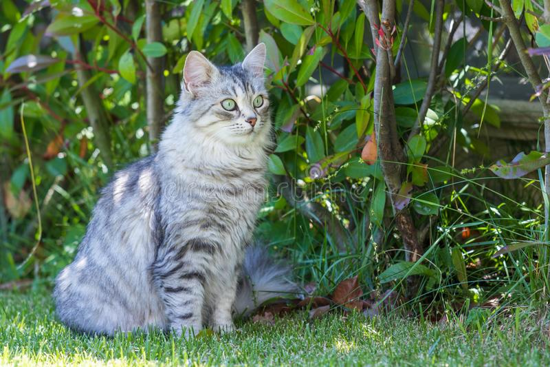 Adorable long haired cat of siberian breed in relax outdoor. Purebred feline of livestock. Cute domestic cat of livestock. Hypoallergenic siberian breed of royalty free stock photography