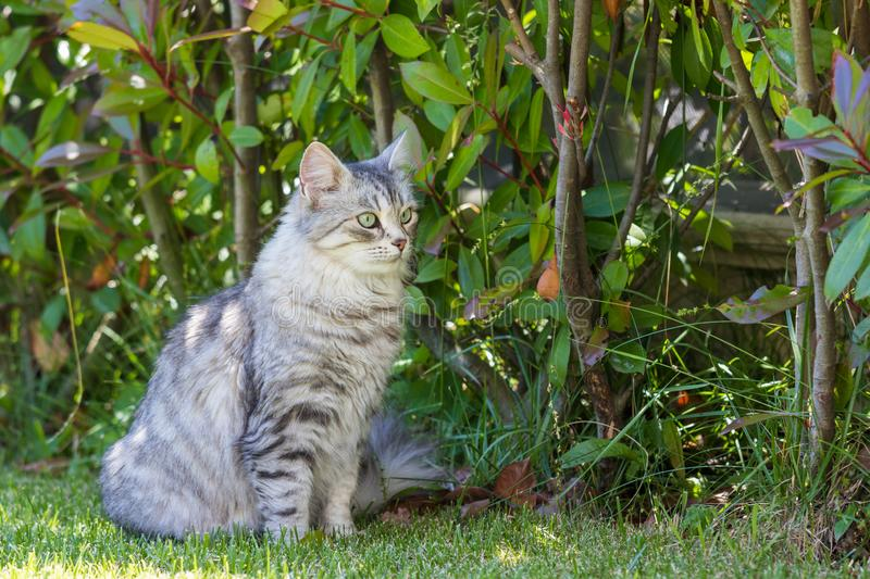 Adorable long haired cat of siberian breed in relax outdoor. Purebred feline of livestock. Cute domestic cat of livestock. Hypoallergenic siberian breed of royalty free stock image