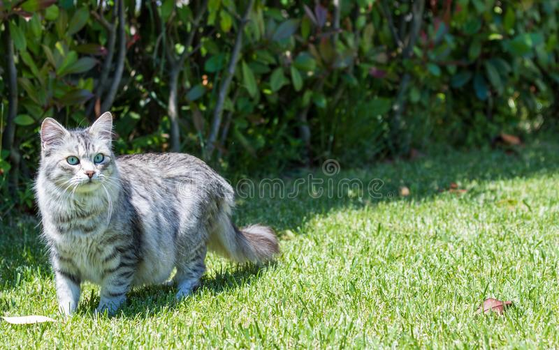 Adorable long haired cat of siberian breed in relax outdoor. Purebred feline of livestock. Cute domestic cat of livestock. Hypoallergenic siberian breed of stock image