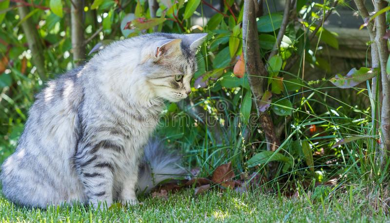 Adorable long haired cat of siberian breed in relax outdoor. Purebred feline of livestock. Cute domestic cat of livestock. Hypoallergenic siberian breed of stock images