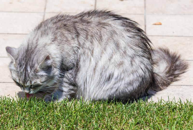 Adorable long haired cat of siberian breed in relax outdoor. Purebred feline of livestock. Cute domestic cat of livestock. Hypoallergenic siberian breed of royalty free stock photos