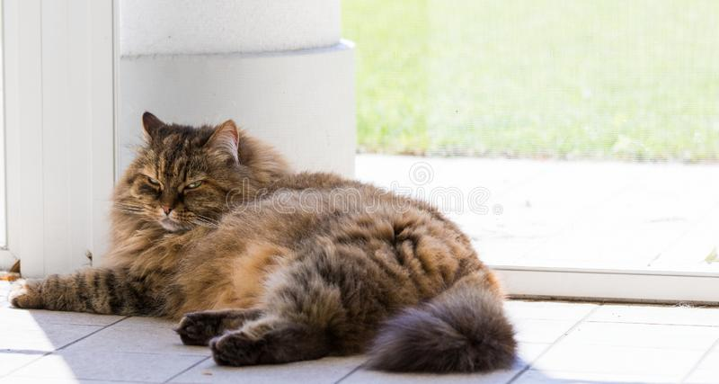 Adorable long haired cat of siberian breed in relax outdoor. Purebred feline of livestock. Cute domestic cat of livestock. Hypoallergenic siberian breed of royalty free stock photo