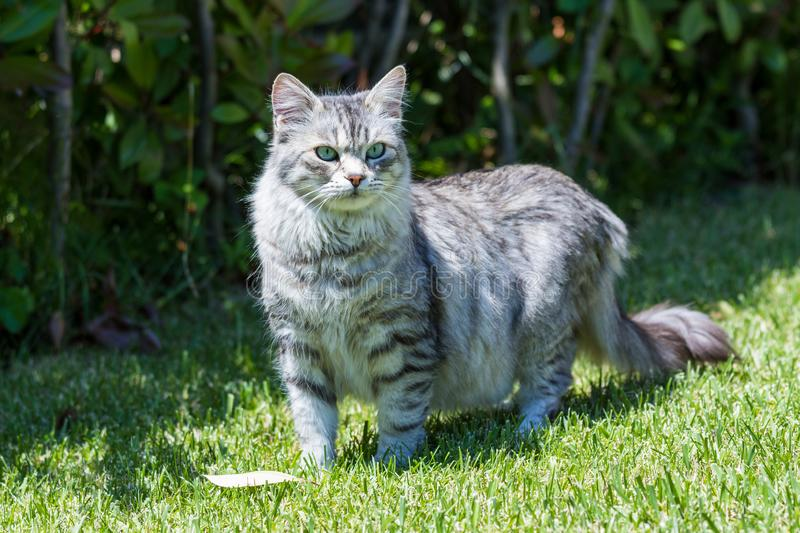 Adorable long haired cat of siberian breed in relax outdoor. Purebred feline of livestock. Cute domestic cat of livestock. Hypoallergenic siberian breed of stock photos