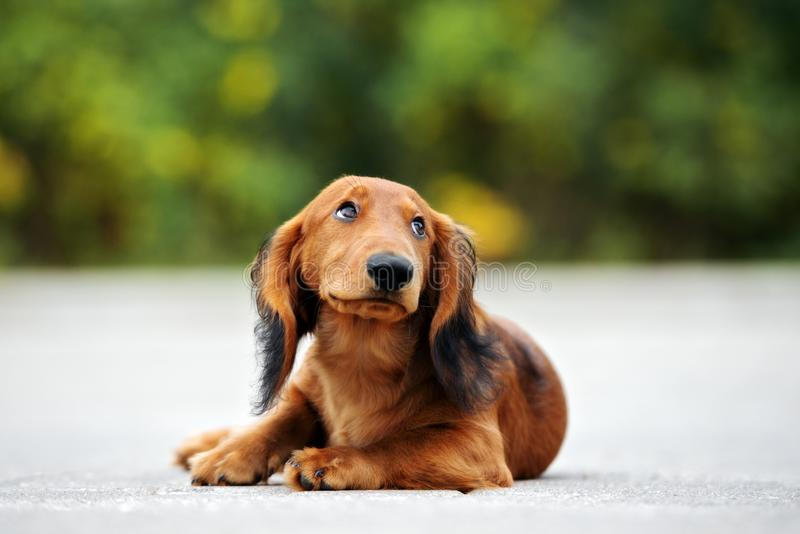 Long haired dachshund puppy posing outdoors. Adorable long haired dachshund puppy outdoors stock photography