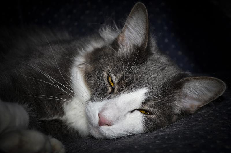 Adorable Long Haired Gray Cat with White Triangle on Face Waking Up. An adorable sleepy long haired gray with a white triangle on her face is waking up with eyes stock photos
