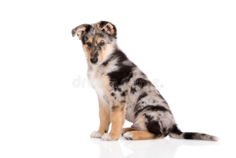 Adorable mixed breed puppy posing on white. Mixed breed puppy posing on white background royalty free stock photo