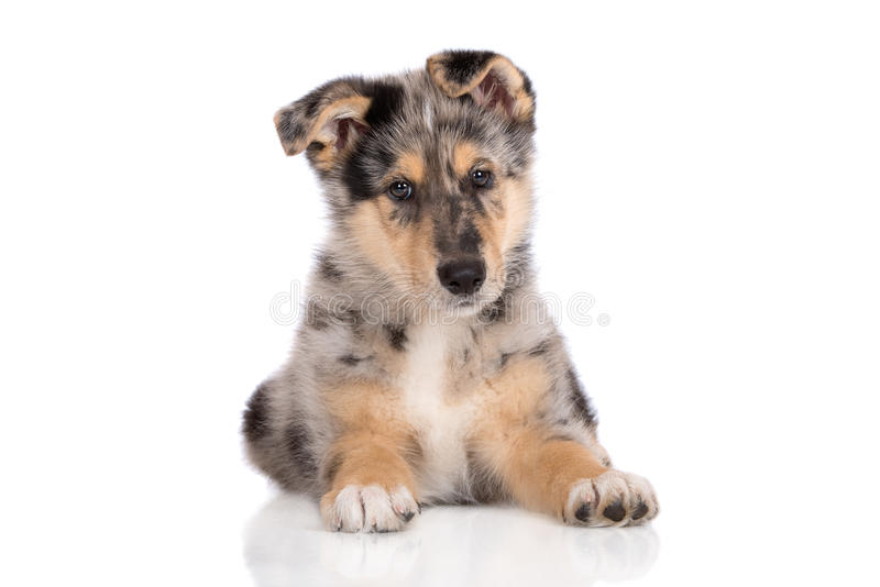 Adorable mixed breed puppy posing on white. Mixed breed puppy posing on white background royalty free stock image