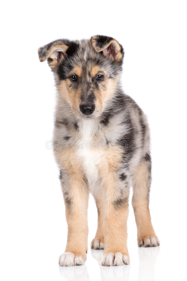Adorable mixed breed puppy posing on white. Mixed breed puppy posing on white background stock photography