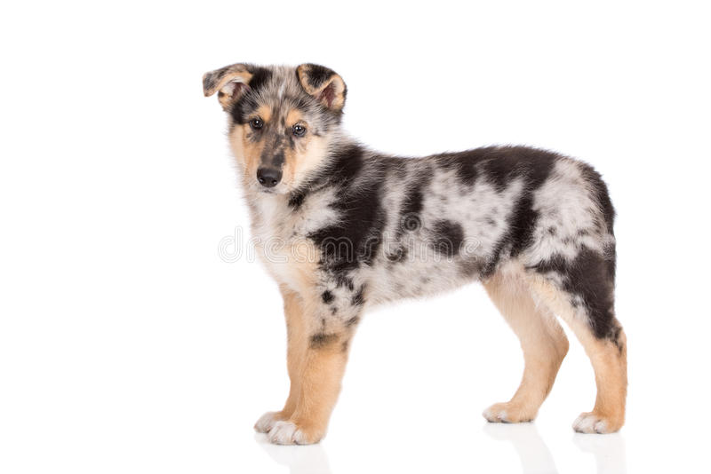 Adorable mixed breed puppy posing on white. Mixed breed puppy posing on white background royalty free stock photography