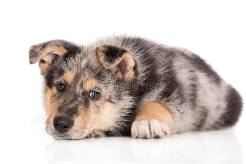 Adorable mixed breed puppy posing on white. Mixed breed puppy posing on white background royalty free stock images