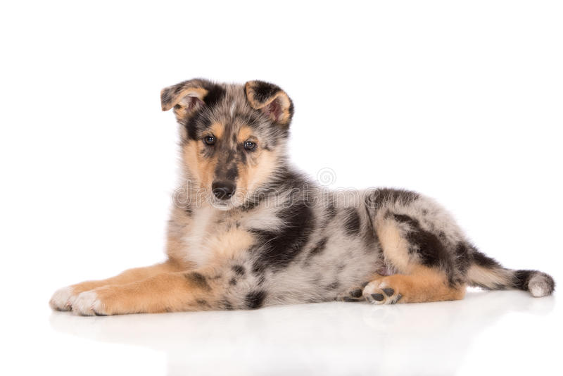 Adorable mixed breed puppy posing on white. Mixed breed puppy posing on white background stock images