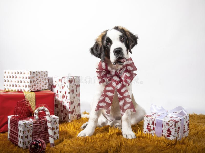 Adorable 4-month-old St Bernard puppy sitting looking at camera with Christmas bow surrounded by paper-wrapped gift boxes. Festive royalty free stock photo