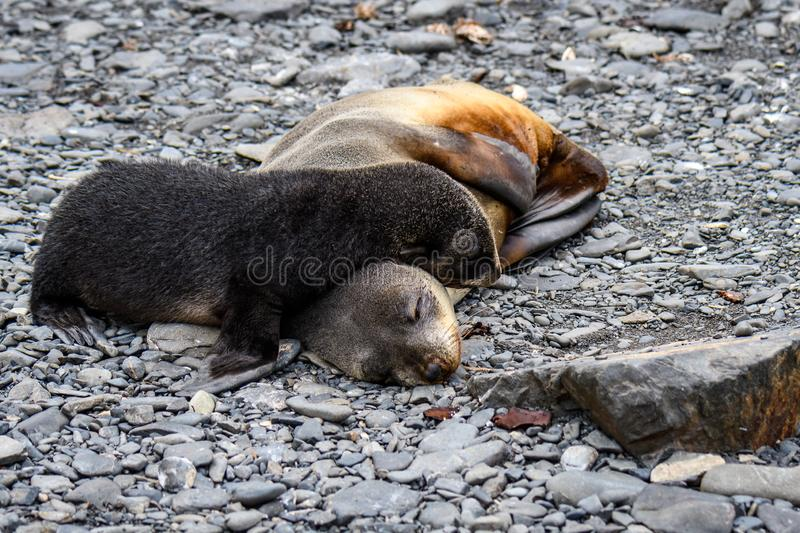 Adorable mother and pup fur seals cuddled up sleeping on rocky beach, Prion Island, South Georgia stock photography