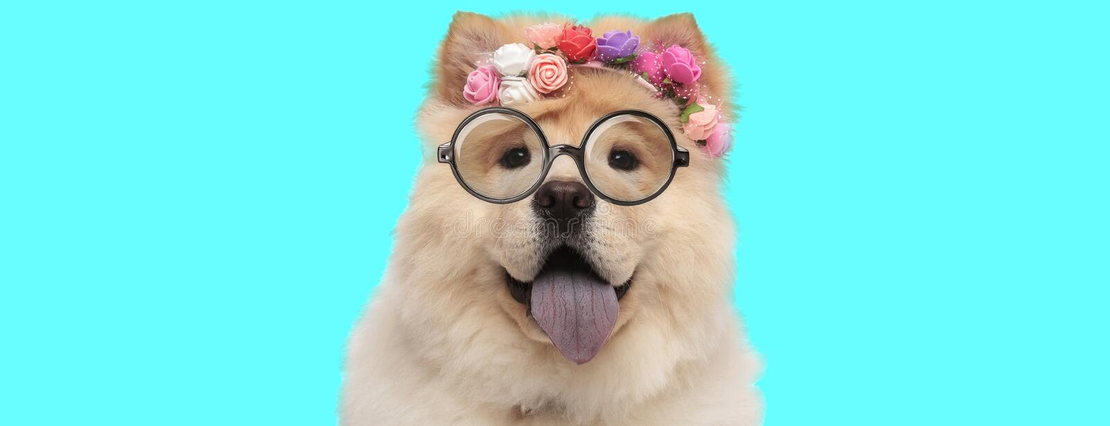 Adorable nerdy Chow Chow dog sticking put his tongue royalty free stock photos