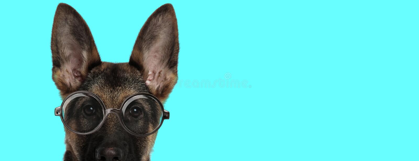 Adorable nerdy German Shepherd dog with face half exposed royalty free stock images