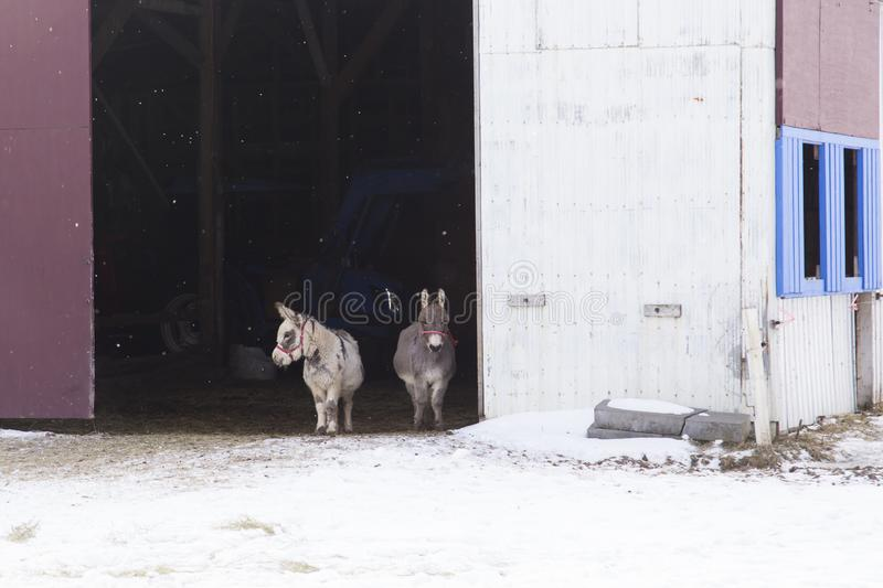 Adorable pair of miniature donkeys seen peeking from an open barn door during a winter afternoon royalty free stock photos
