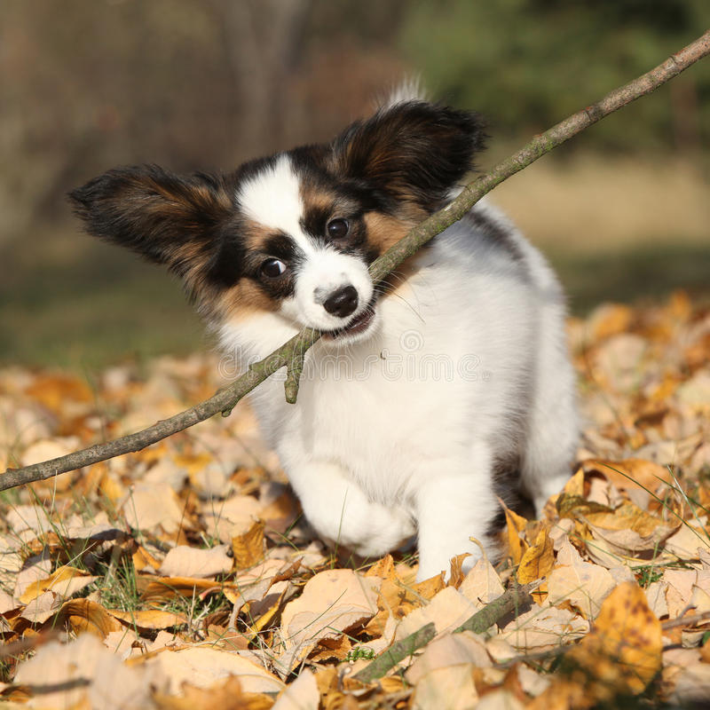 Adorable papillon puppy playing with a stick. In autumn stock image