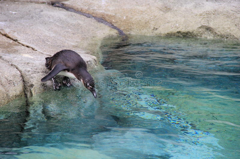 Adorable Penguin, getting ready to go for a swim. Adorable Penguin, standing on the edge of a rock, getting ready to dive in for a brisk, cold swim royalty free stock photo