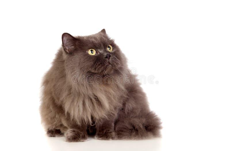 Adorable Persian Cat Looking Up Royalty Free Stock Photos