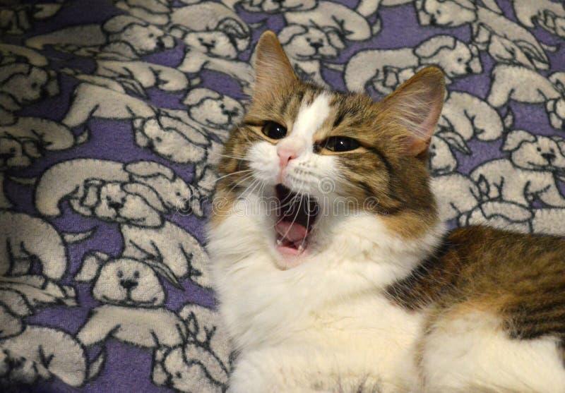 Beautiful tabby cat yawns. Adorable pet, pretty animal, Beautiful tabby cat yawns, half-length cat stock photos