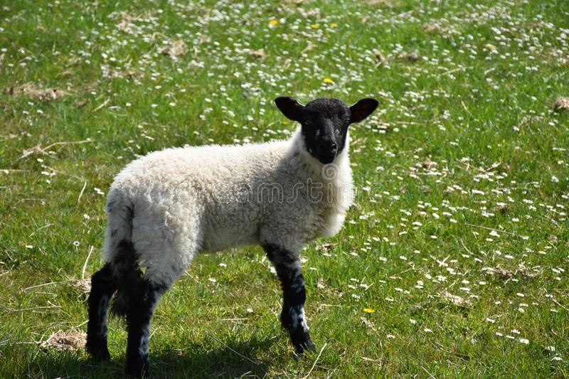 Adorable Playful Black Faced Lamb in a Field stock image