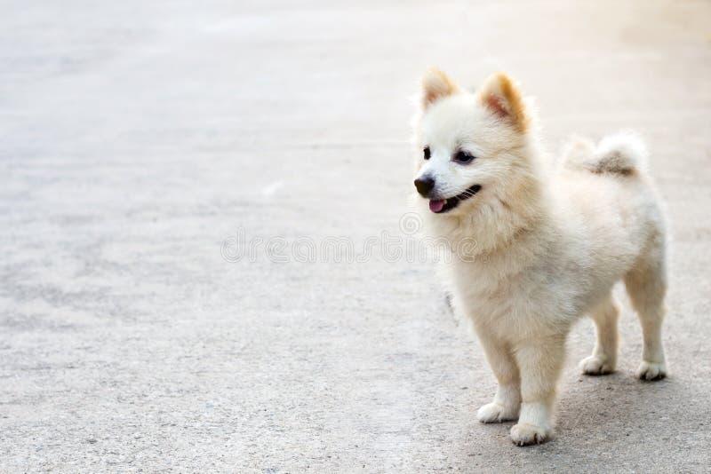 Amazing Pomeranian Brown Adorable Dog - adorable-pomeranian-dog-nature-background-portrait-dog-adorable-pomeranian-dog-nature-background-portrait-dog-113935149  2018_292085  .jpg